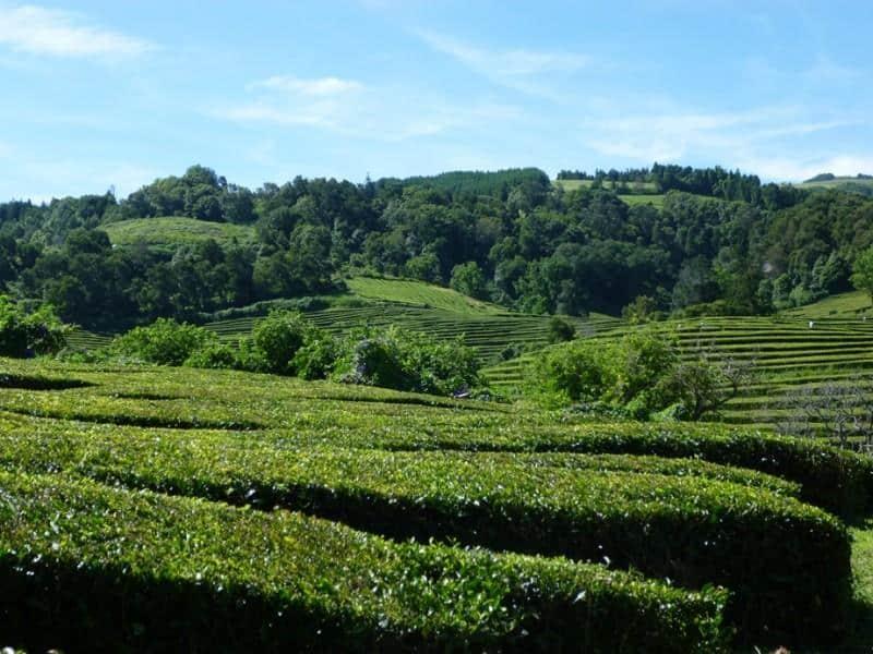Teeplantage Azoren